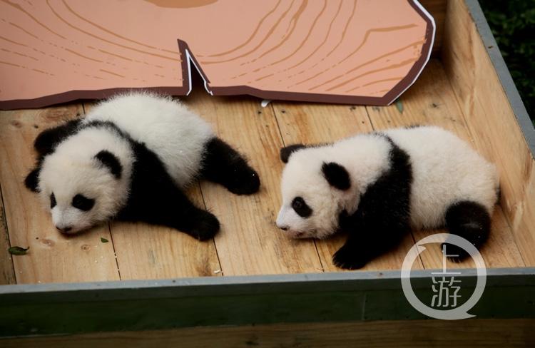 重庆动物园的大熊猫龙凤胎满百天了!